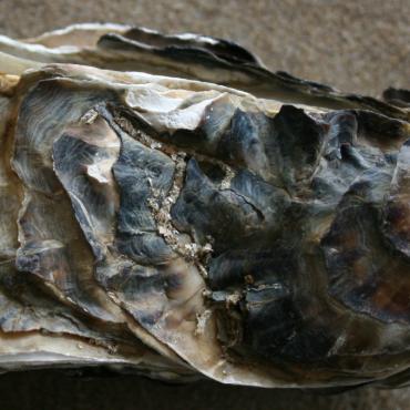 Japanse oester uit Werelderfgoed Waddenzee