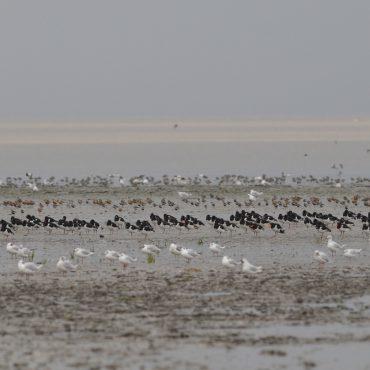 Ondermeer scholeksters rusten uit op een wadplaat in de Waddenzee FOTO: Roef Mulder