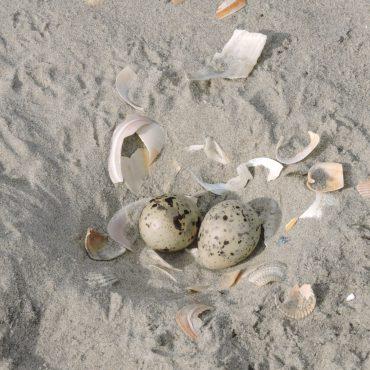 Nestdwergstern