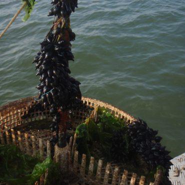 Eieren van een zeekat in de Waddenzee