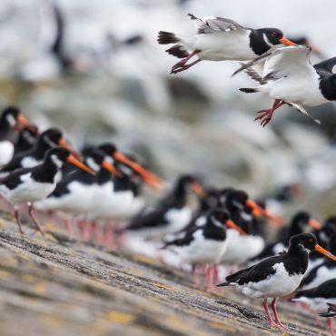 Een groep scholeksters op de rand van een dijk langs de Waddenzee. FOTO: Jeroen Gosse, Kracht van Beeld.