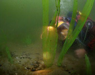 Duiker inspecteert kunstmatig zeegras. FOTO: Rijksdienst voor Cultureel Erfgoed