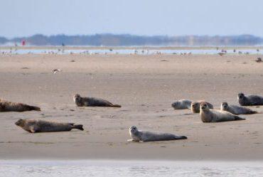 Zeehonden in Werelderfgoed Waddenzee. FOTO: Herman Verheij