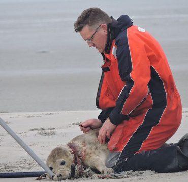 Bert Meerstra snijdt een stuk net weg uit de nek van de zeehond.