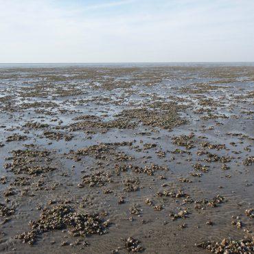 Veel mosselbankjes dit jaar in de Waddenzee