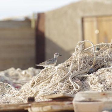 Vogeltelling Afrika, project Flyway - Rob Buiter