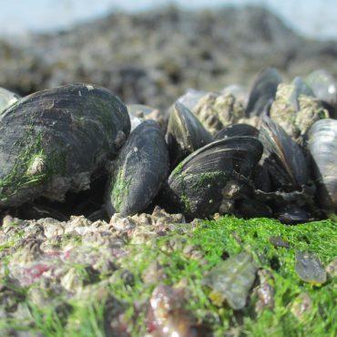 Mossel in Werelderfgoed Waddenzee