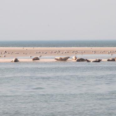 zeehond, Blauwe Balg, Waddenzee