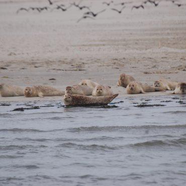 Zeehonden rusten uit in het Waddengebied_FOTO_Marco Hillenaar