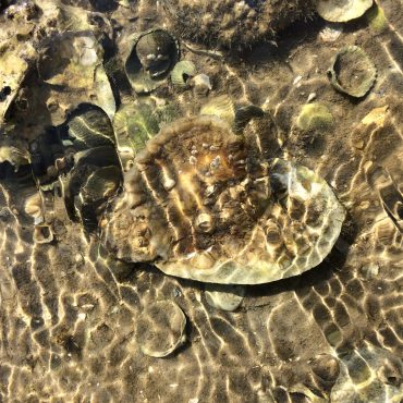 Onderwaternatuur: Platte oester in de Waddenzee
