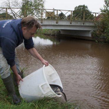 Deze paling is gezenderd voor het project Eemsvissen in beeld. Ze worden weer teruggezet.