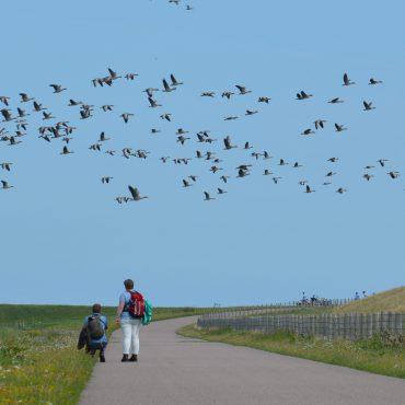 Ganzen vliegen naar de Waddenzee. Utopia Texel