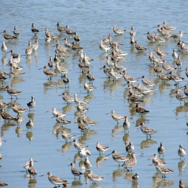 Voor Rosse grutto's en kanoeten is de Waddenzee een belangrijkse schakel in hun trekroute