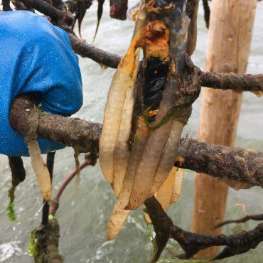 Eieren van Pijlstaartinktvis in de Waddenzee_Waddenunit_Nico Laros