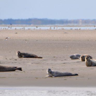 Zeehonden van iets te dichtbij inde Waddenzee. FOTO: Herman Verheij