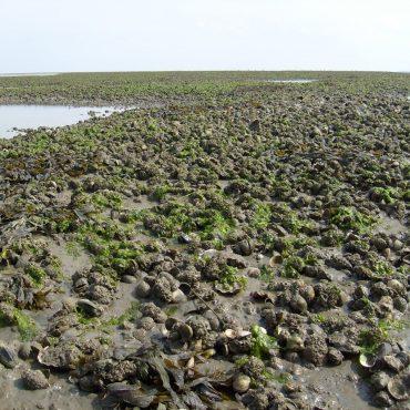 Bank met kokkels mosselen en Janpanse oester in Waddenzee