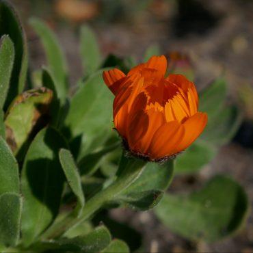 oranje bloem - blog zakje Bloemenzaad
