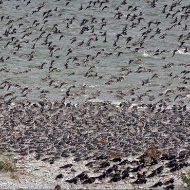Drieteenstrandlopers op de hoogwatervluchtplaats bij Griend, Waddenzee (foto: Jeroen Reneerkens)