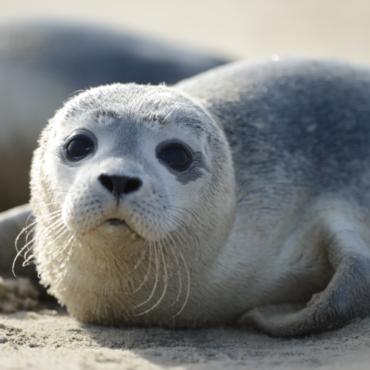 Gewone zeehond in de Waddenzee